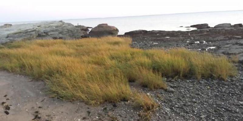 Marshy grass at beach
